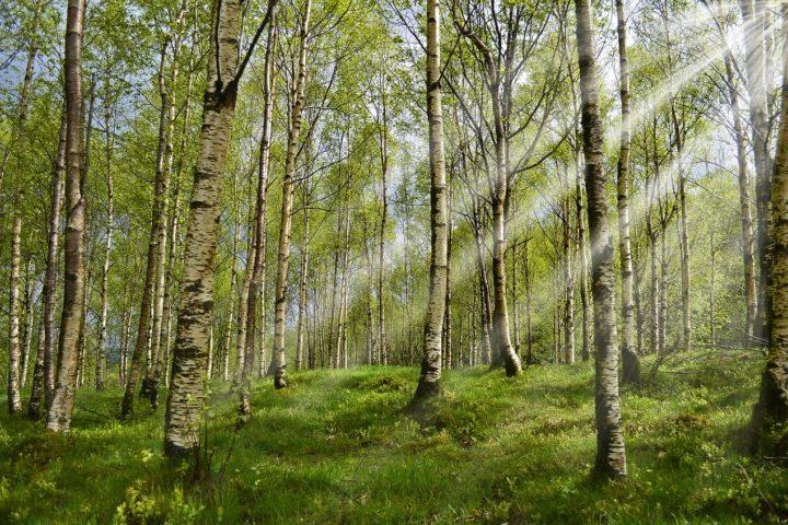Bjørkeskog med sollys gjennom trærne